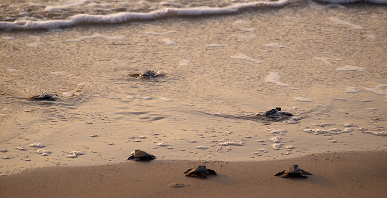 Junquillal Beach turtles